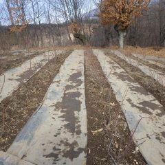 剪定が終わり落ち葉片付けも終わったローズ畑