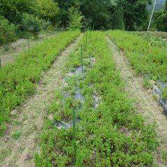 スペアミント畑