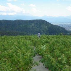 甲府の気温37℃、猛暑の中でローズ畑の除草作業は続けられています