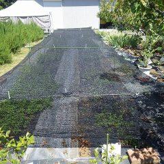 連日の猛暑日で強い日差しで葉焼けを起こすのを防ぎます