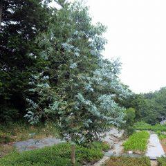 約5mを超える高さに伸びたユーカリ・グロブルス、上の枝から成葉が生えてきました