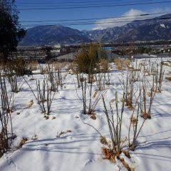 事務局前のローズ畑には22日に降った雪が残っています
