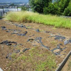 猛暑日で炎天下の中、事務局前のカモマイル・ローマン畑の除草はここまで進みました
