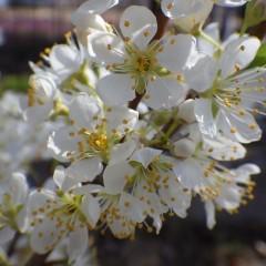 スモモの花も花盛りです