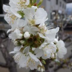 サクランボの花が咲き始めました