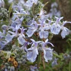 ローズマリーは四季を問わず花を咲かせます