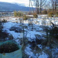 雪の残ったローズ畑での剪定作業終了