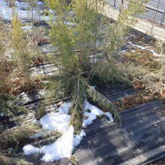 ティートゥリーの枝は雪の重みで折れてしまいました