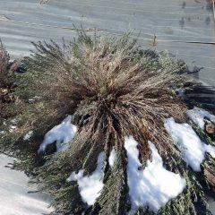 ラベンダー・ストエカスの大株は枝が雪の重みで倒伏していまいました
