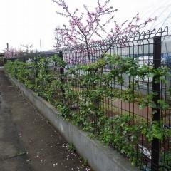 つるバラは葉も茂りフェンスに緑の壁が出来ています