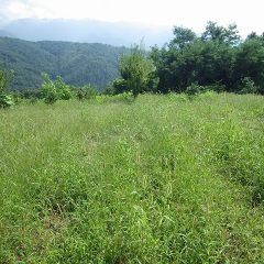 カモマイル・ジャーマン畑はまた雑草が蔓延ってしまいました