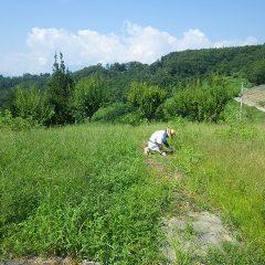 雑草だらけになってしまったスペアミント畑の除草作業