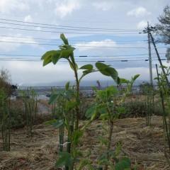葉が広がり茎が伸び始めています