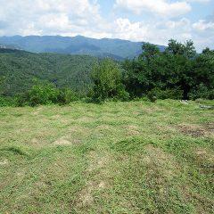 カモマイル・ジャーマン畑を草刈りしました