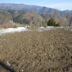 カモマイル・ジャーマン畑も雪は溶けました