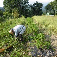 スペアミント畑の除草作業はここまで進みました