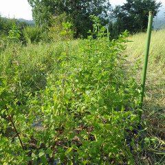 雑草の中から救出されたスペアミント