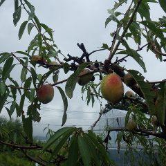 雨空の下でアーモンドの実が色付いています