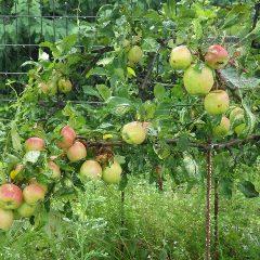 今年も姫リンゴがたわわに実っています