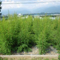 関東甲信地方も梅雨が明けて夏本番!  ティートゥリーは背の高さまで伸びています