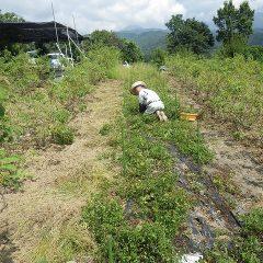 ペパーミント畑の除草作業中