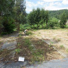 こちらではブラックマロウ畑の除草作業中