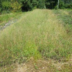 タイム・ブルガリス畑は雑草でタイムが隠れてしまいました