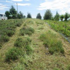 除草する前に通路の雑草を刈り取りました