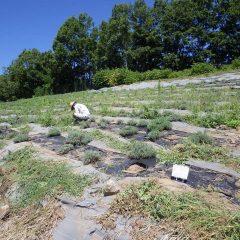 今日も真夏日の農場でラベンダー畑の除草作業