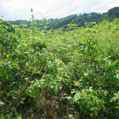 ローズ畑はジャングル状態、除草するための通路すらわからなくなっています