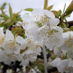 サクランボの花は満開になりましたが冷たい雨が続き受粉出来るか心配です