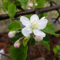 姫リンゴ「アルプス乙女」が冷たい雨の中で咲き始めました