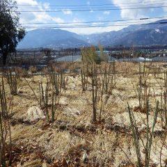 剪定の終わった事務局前のローズ畑