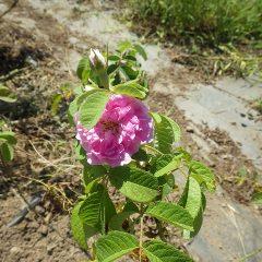 花をつけたローズを見つけました