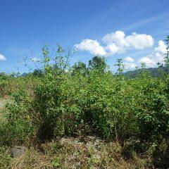 背丈より高く伸びた雑草に覆われたローズ畑