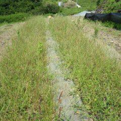 カモマイル・ジャーマン畑は草に埋もれての除草作業中です