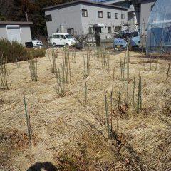 枝の更新と誘引が終わったローズ畑