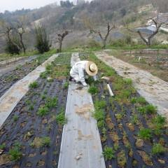 カモマイル・ジャーマン畑では除草作業中