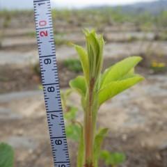 20cmほど伸びている茎もあります
