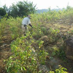 除草作業は日が傾くまで続いています
