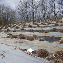 ラベンダー畑の剪定枝と落ち葉の清掃も終わりました