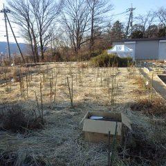 事務局前のローズ畑は枝の更新と誘引が完了しました