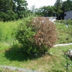 オリーブの木が半分枯れてしまいました