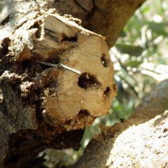 オリーブアナアキゾウムシの幼虫が穴を空けて枯らしていました