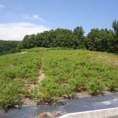 猛暑日の中でローズ畑の除草作業は続けられています