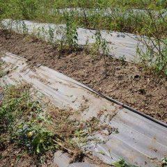 綺麗に除草されたローズ畑