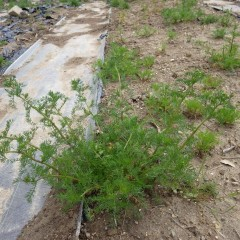 農場のカモマイル・ジャーマンは茎が立ち始めました