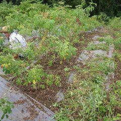 ローズ畑の除草作業も続けられています