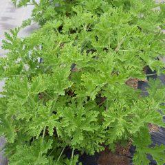 ゼラニウムは葉を大きく広げてグングン育っています