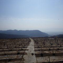 農場は春霞で富士山も甲府の街並みも見ることが出来ません
